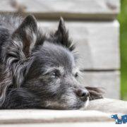 perro-senior