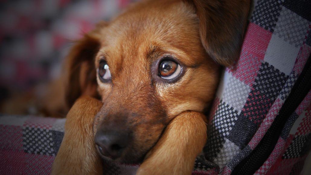 Mascotas con miedo a los petardos 1